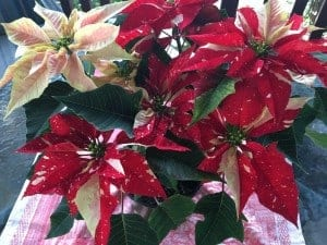 Love this poinsettia. It is a new variety. Red with white specks and some pink flowers too.