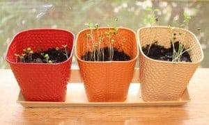 triple sprouts