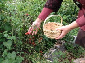 Denise picking cherry tomato in the community garden
