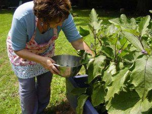 Denise picking eggplants