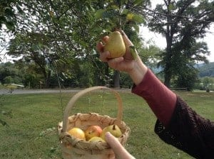 Picking a few pears on the tree