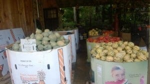 So many squash at Flying Cloud farm being picked and coming to your local tailgate market!