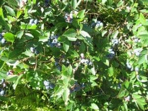 Blueberry Bush out in the wild